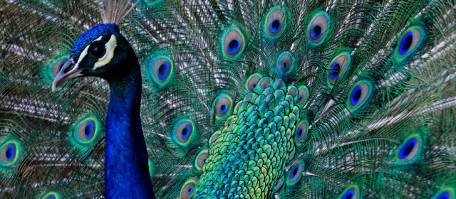 Would you buy a peacock with your tax refund?